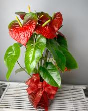 "Red Anthurium ""Holiday Plant\"""