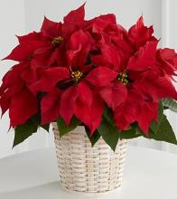 Red Poinsettia Basket - small