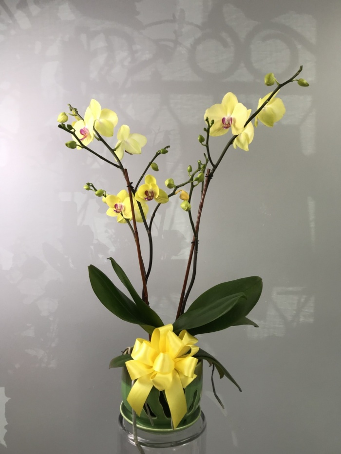 Locally Grown Phalaenopsis Orchid Plant Container